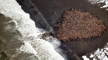 Desítky tisíc mrožů zabraly pláž na Aljašce