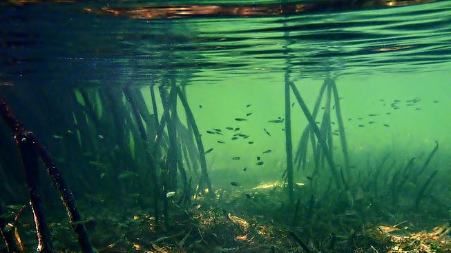 Mangrovy