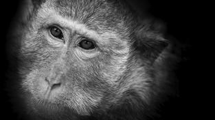 Ilustrační foto: Vědcům se podařilo odhalit u makaků známky deprese