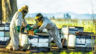 Včely provázely lidi prakticky odjakživa. Ilustrační snímek