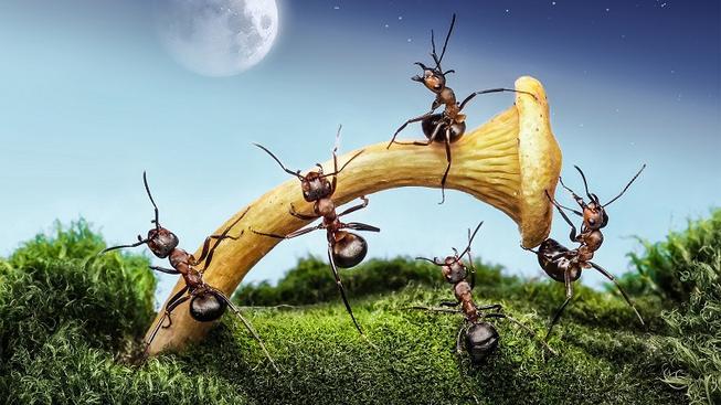 Mravenci nejsou žádní žabaři a jejich zemědělství se v mnoha ohledech podobá tomu našemu