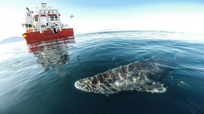 Vzácný žralok, který se může dožít až 400 let