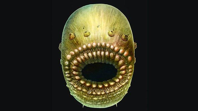 Umělecká rekonstrukce Saccorhytuse coronariuse