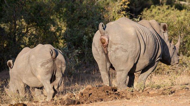Trus má pro nosorožce důležitou informační roli