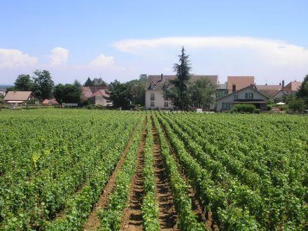 Vinice u Dijonu