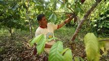 Peruánci tvrdí, že jejich kakao je nejlepší