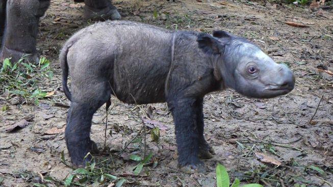rozkošné mláďátko nosorožce
