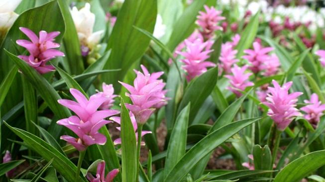 Kvetoucí kurkuma