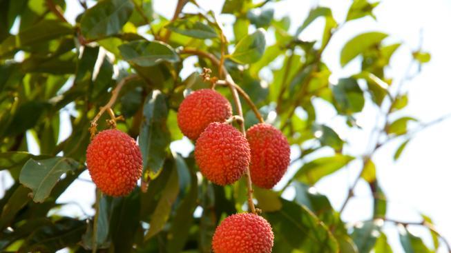 Plody liči