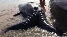 Rybáři vylovili z Pacifiku podivné monstrum. Co to je?