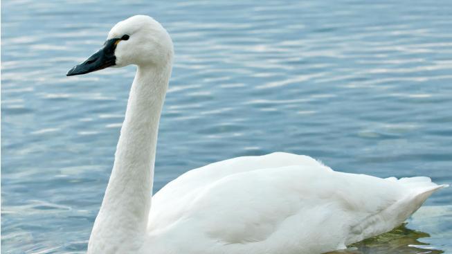 V Českých Budějovicích se objevila vzácná labuť malá