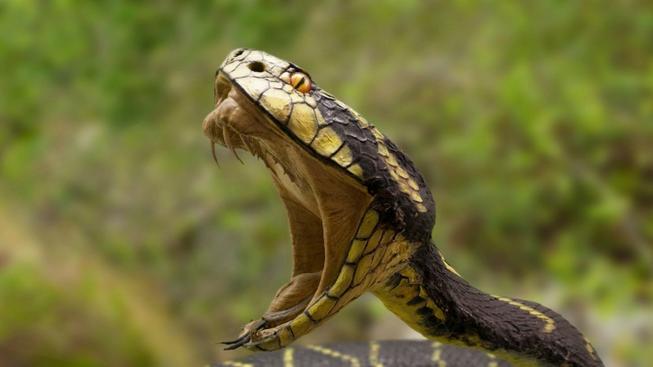 Had (ilustrační foto)
