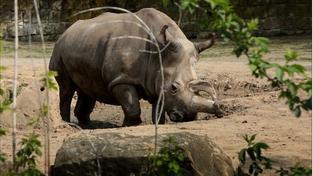Samice Nabiré byla jednou z pěti posledních jedinců nosorožců severních bílých na světě
