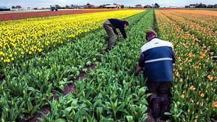 Tulipány dnes patří k nejlevnějším květinám, ne vždy tomu ale tak bylo