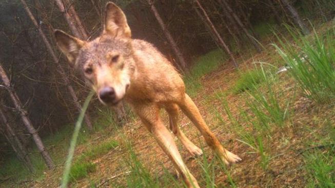 vlk_kokorinsko