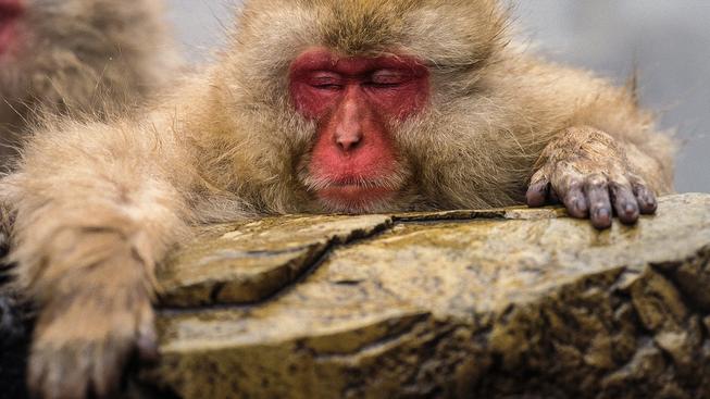 Japonský makak