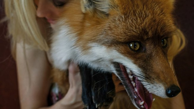 Liška jako domácí mazlíček?