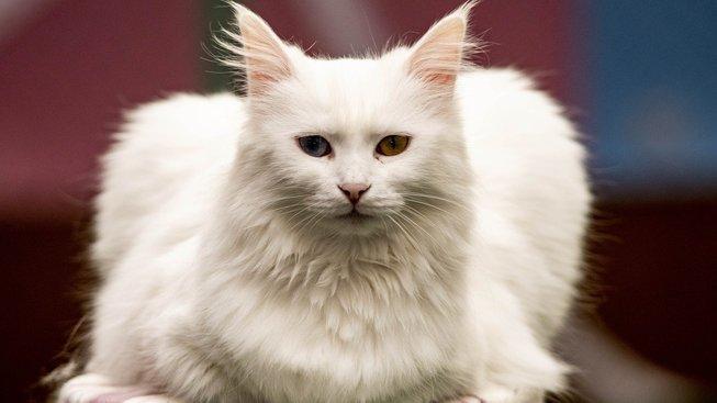 Kočky od jezera Van