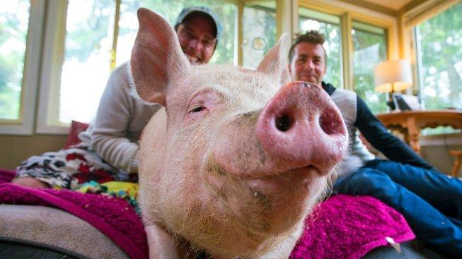 Poznejte slavná prasata! Mají tisíce fanoušků po celém světě