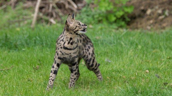 Exotická savannah: Oddaná parťačka s mimořádným rodokmenem