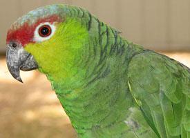 Amazoňan žlutolící ekvádorský
