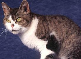 Americká hrubosrstá kočka