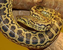 Anakonda žlutá