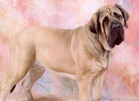 Anglický mastif