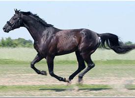Angloarabský kůň