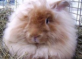 Angorský králík