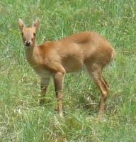Antilopa čtyřrohá