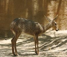Antilopa srnčí