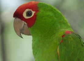 Aratinga červenolící
