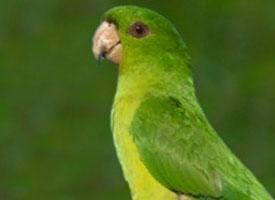 Aratinga zelený