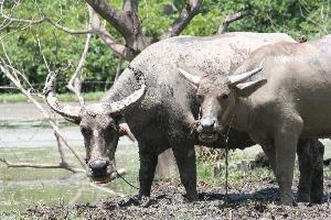Asijský buvol