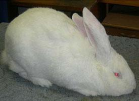 Belgický obr albín
