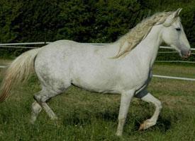 Berberský kůň