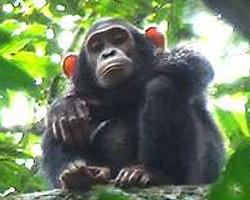 Bilijský šimpanz