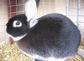 Bílopesíkatý králík