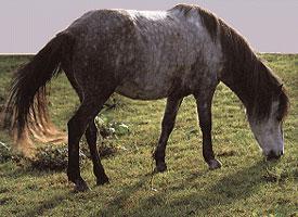 Bosenský horský kůň