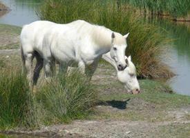 Camargský kůň