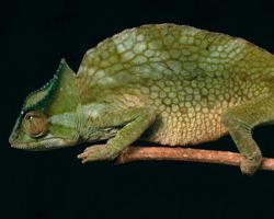 Chameleon hřebenatý