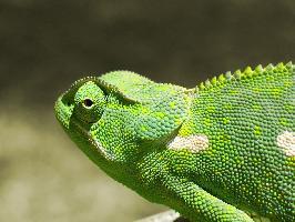 Chameleon límcový
