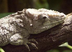 Chameleon vousatý