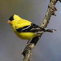 Čížek žlutý