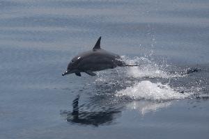 Delfín dlouholebý