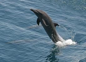 Delfín pobřežní