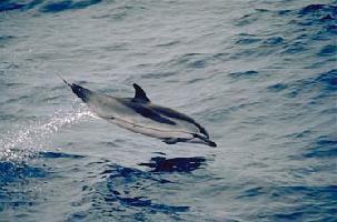 Delfín pruhovaný
