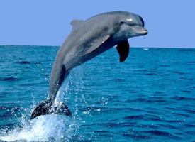 Delfín skákavý