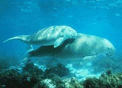 Dugong indický